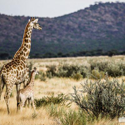 Giraffe mit Kind
