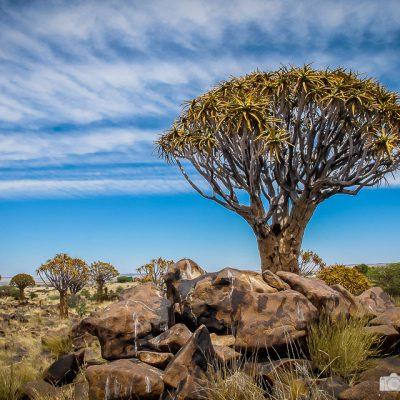 Köcherbaumwald ind Namibia